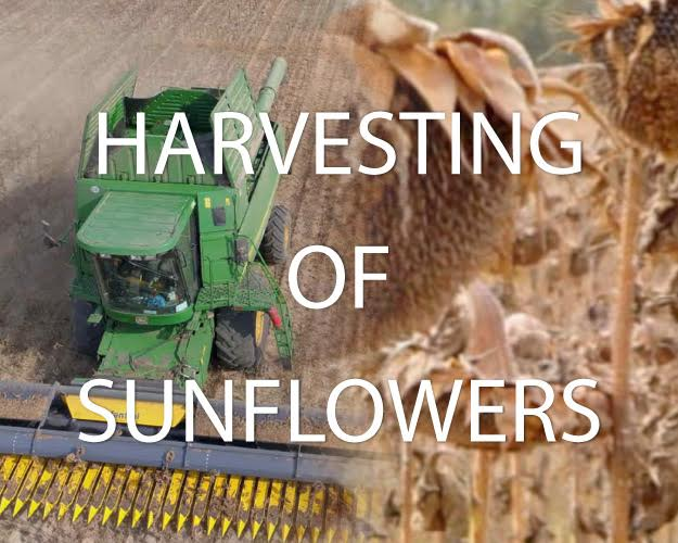 Harvesting of sunflowers